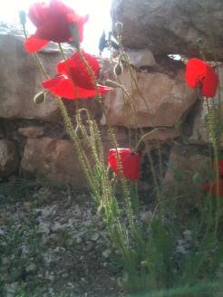 Poppies, Baalbeck, Lebanon