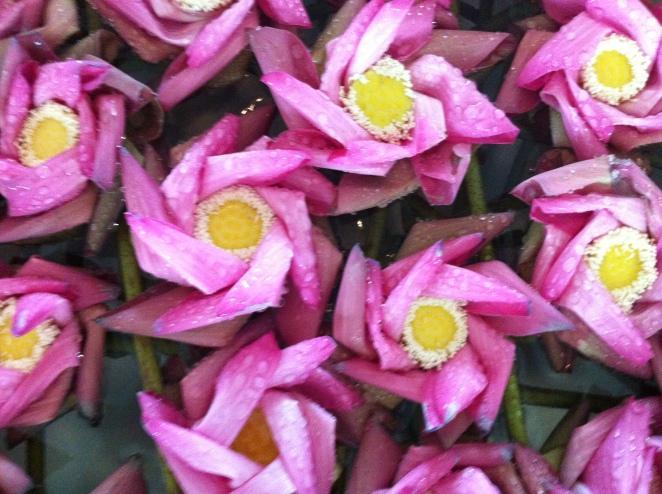 Lotus Flowers, Siem Reap