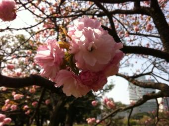 Sakura, Hamariku Gardens, Tokyo, Japan